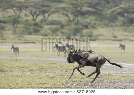 White Bearded Wildebeest Running, Tanzania