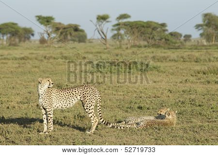 Adult Female Cheetah With Her Two Cubs (acinonyx Jubatus) Tanzania