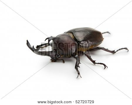 Male Japanese rhinoceros beetle (Allomyrina dichotoma), Japanese horned  beetle, or kabutomushi isolated on white.