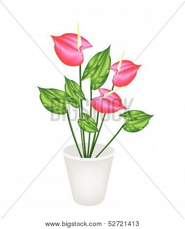 Anthurium Flowers Or Flamingo Lily In A Flower Pot