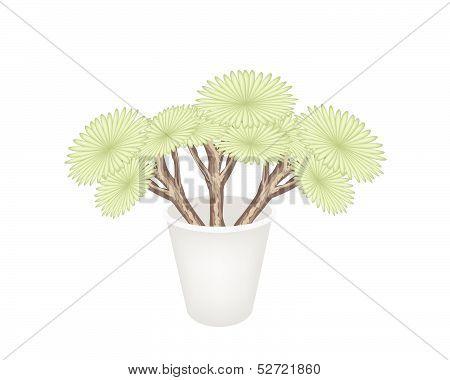 Beautiful Dragon Trees In A Flower Pot