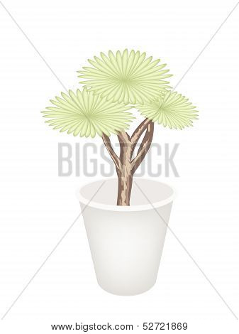 Beautiful Dragon Tree In A Flower Pot
