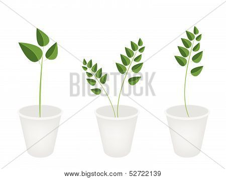 A Set Of Evergreen Plant In Flower Pots