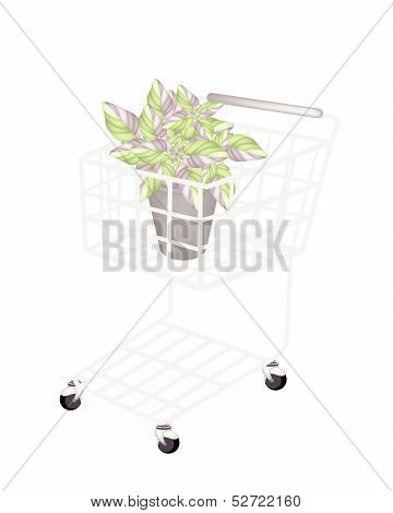 Beautiful Acanthaceae Plant In A Shopping Cart