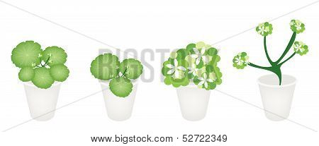A Set Of Asiatic Pennywort In A Flower Pot