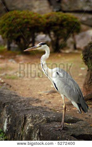 Grey Heron, Himeji, Japan