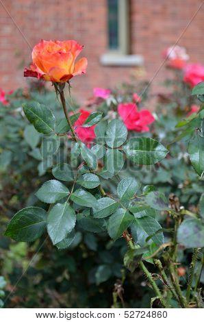 Rose of sunrise colors