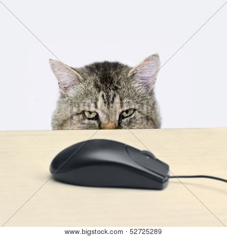Cat Hunts A Computer Mouse