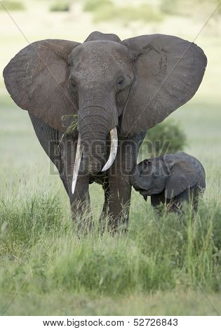 Female African Elephant With Long Tusk (loxodonta Africana) With Baby