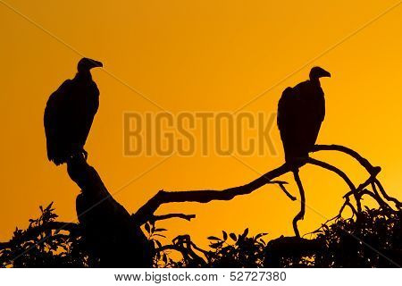 White Backed Vultures (gyps Africanus), South Africa