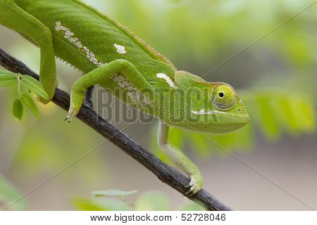 Flap Necked Chameleon, (chamaeleo Dilepis), South Africa