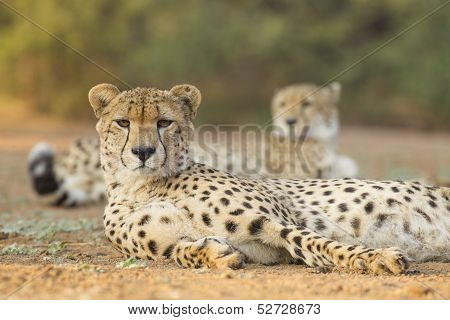 Two Male Cheetah (acinonyx Jubatus) South Africa