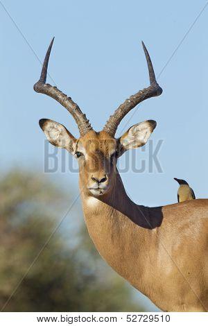 Male Impala Portrait (aepyceros Melampus) Botswana