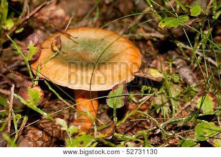 false saffron milkcup