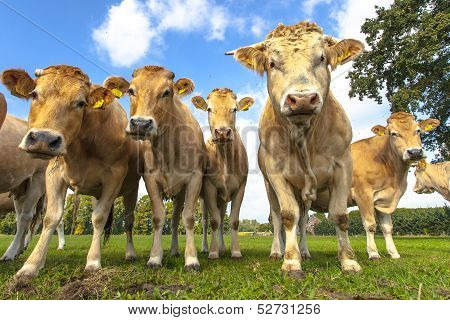 Group of curious cows