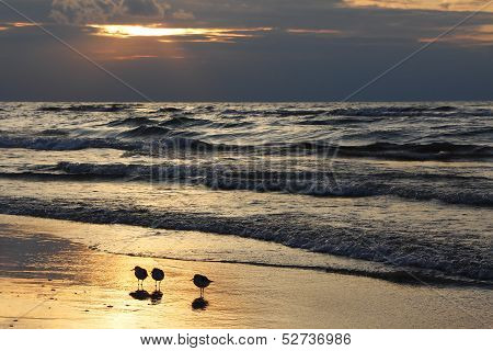 Semipalmated Sandpipers On Beach At Sunset