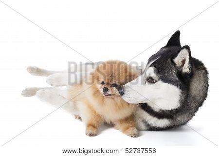 Two Dogs (siberian Husky And Pomeranian) Cuddling