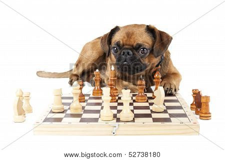 Dog Breed Small Brabant With Chess