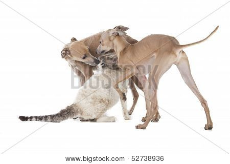 Two Dogs Playing With A Cat