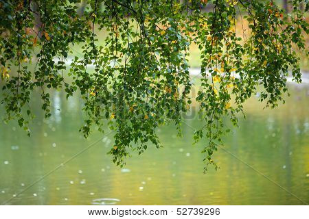 Branches with birch leaves over the water