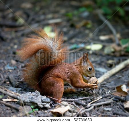 Red Squirrel With Walnut In Autumn Forest