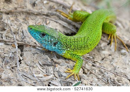 Male of green lizard (Lacerta viridis)