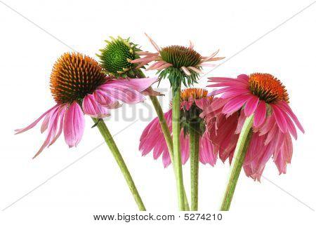 Echinacea  (echinacea Purpurea)