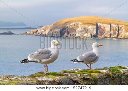 Seagulls on the coast of Dingle Peninsula in Ireland