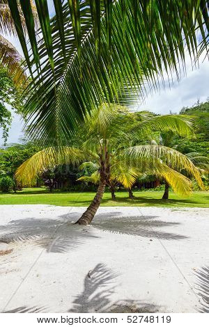 Palm tree on a tropical white sand seychelles