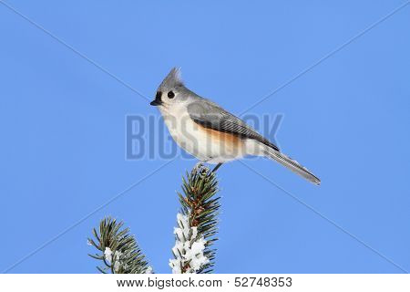 Bird On A Spruce Tree With Snow