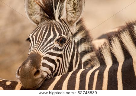 Zebra Resting Head