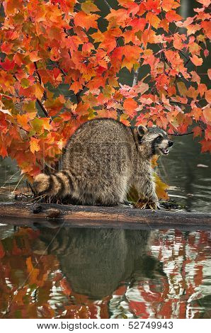 Raccoon (Procyon lotor) Open Mouth On Log In Water