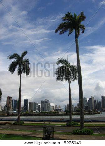 Panama Palm Trees