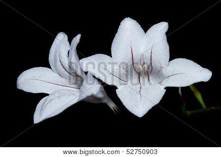 White Daylily Flowers