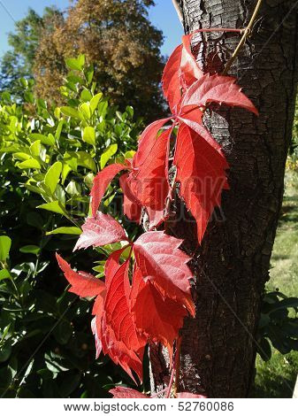 Red Creeper