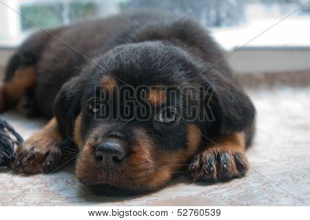 Rottweiler Puppy 9