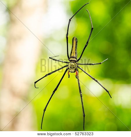 Female Golden Web Spider (nephila Pilipes)