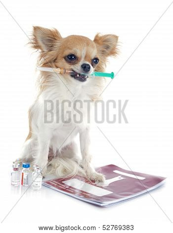 Chihuahua And Syringe