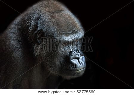 Portrait of an adult gorilla