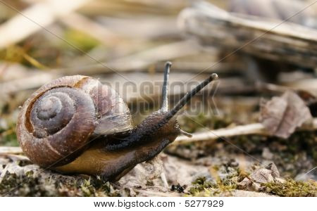 Snail In The Nature