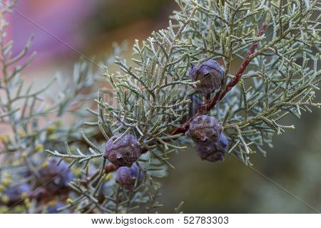 Closeup Of A Branch Of Juniper