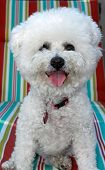 foto of bichon frise dog  - A Pure Breed Bichon Frise Smiles for the Camera - JPG
