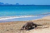 picture of monitor lizard  - Komodo Dragon walking at the beach on Komodo Island - JPG