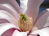 picture of saucer magnolia  - lovely - JPG
