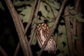 stock photo of screech-owl  - Eastern Screech Owl perched in a tree at night - JPG
