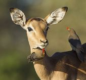 stock photo of ox-pecker  - One young female Impala  - JPG
