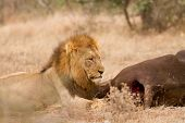 stock photo of anus  - Lion male busy eating its buffalo catch in Kruger Park South Africa - JPG