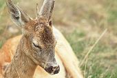 picture of roebuck  - detail of roebuck  - JPG