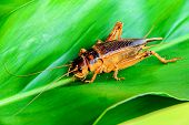 picture of cricket insect  - Cricket brown asian species are climbing on the leaf in nature