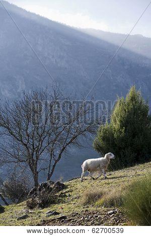 Sheep in montain near the sierra sur of Jaen